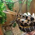 Snake_Queen